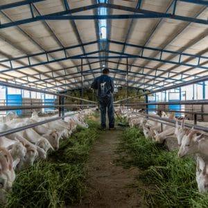 خوراک بز خشک Dry Goat