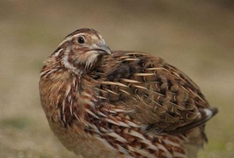 how-to-raise-quail