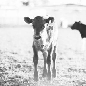 استارتر گوساله