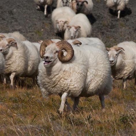 کنسانتره ۱۰% گوسفند