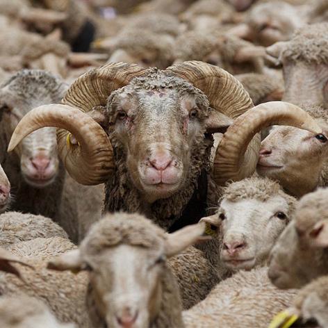 خوراک فلشینگ گوسفند Flashing