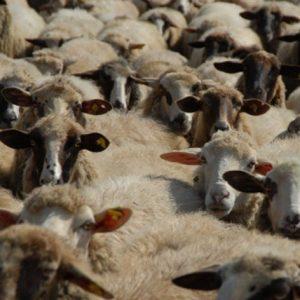 خوراک میش خشک Dry Sheep