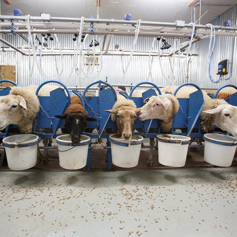خوراک میش شیری Dairy Sheep