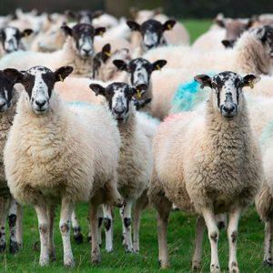 خوراک پرواری گوسفند GEROWER & FINISHER