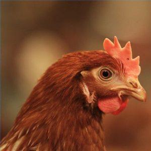 خوراک مرغ بومی تخمگذار _ پیش از تخمگذاری