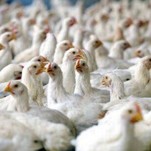پایان دان یک مرغ گوشتی