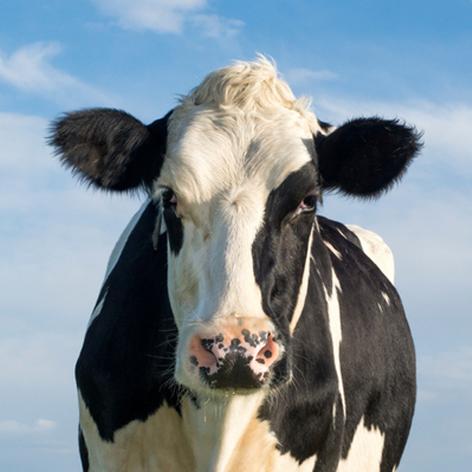 خوراک متوسط شیر