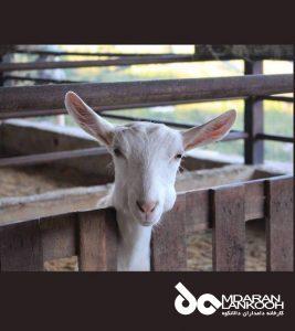 نکات کلیدی در پرورش بز شیری